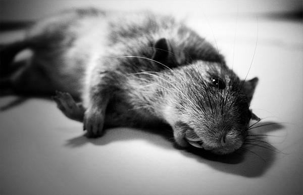 dirty dead rat mess
