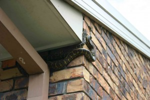 snake in the roof