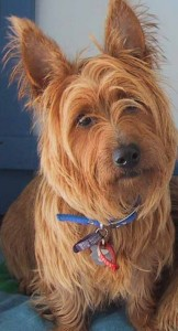 australian terrier red buttons