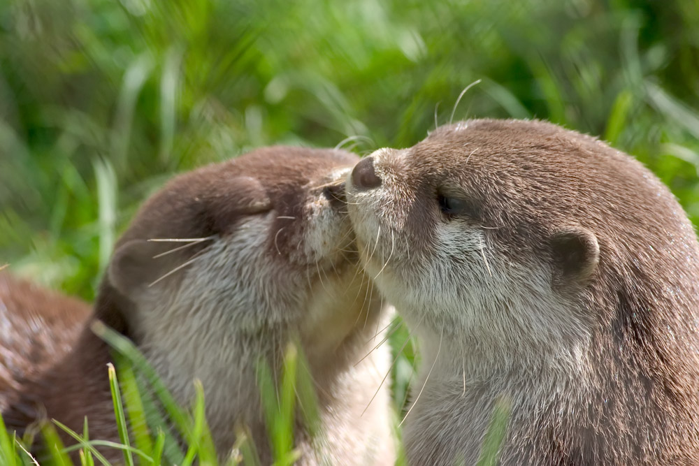 river otter pups kiss baby