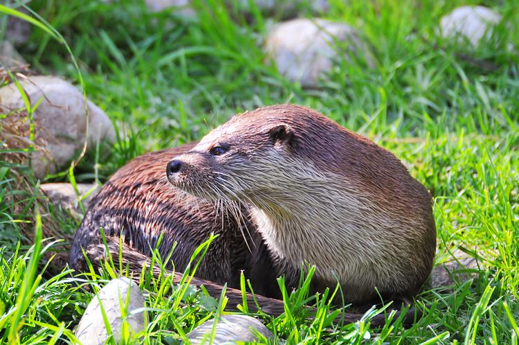 otter back mustelid