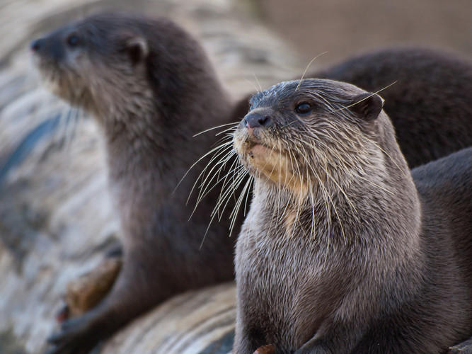 otter curious group social animal swimming