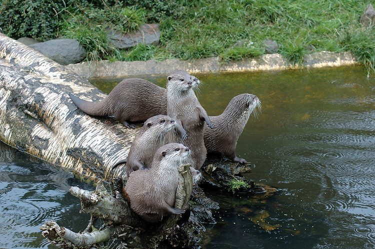 otter family river mustelids