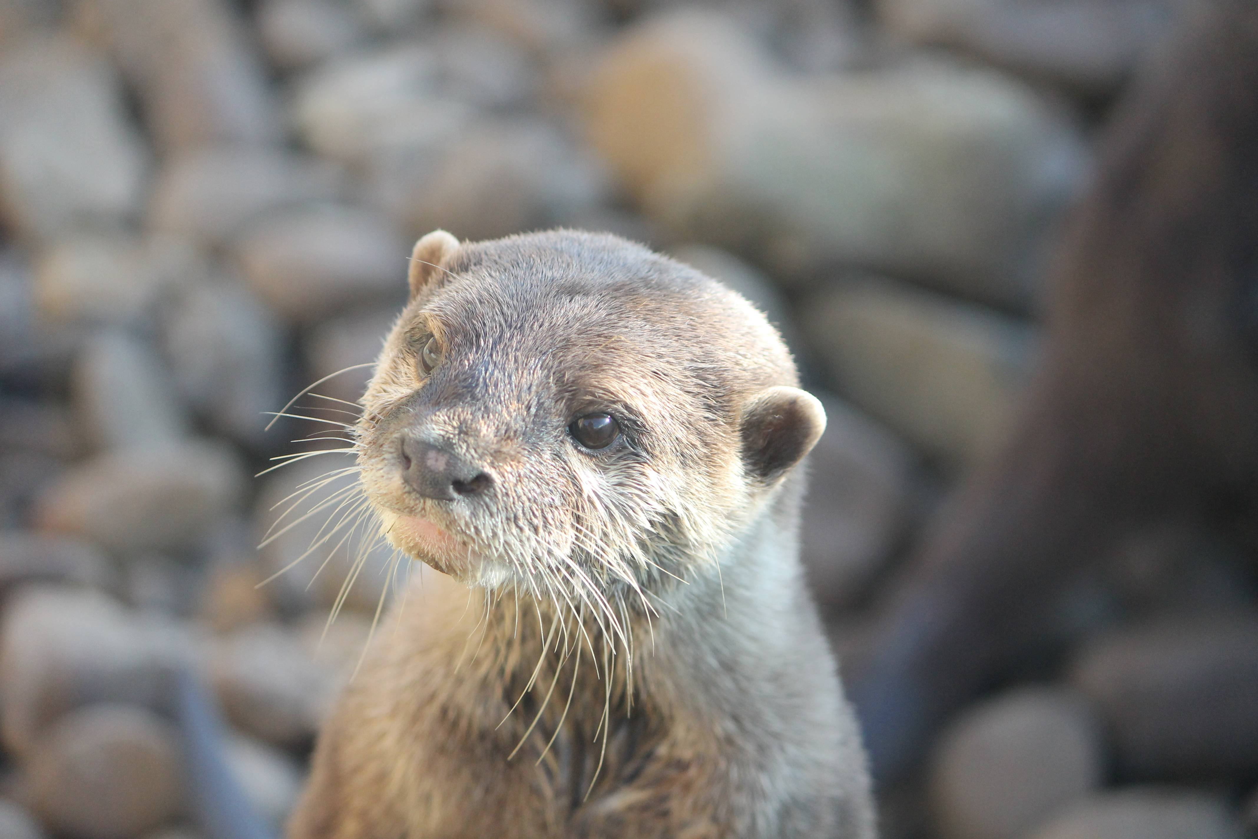small claw asian river otter cute pensive