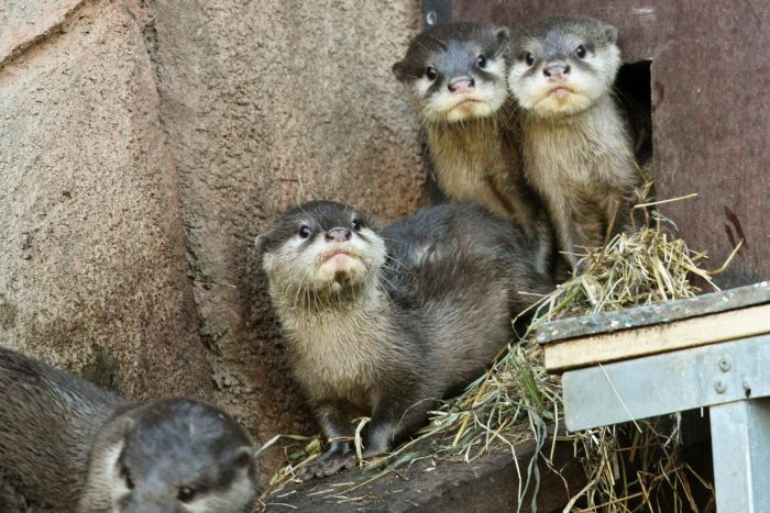 otter pups Perth zoo debut mustelid