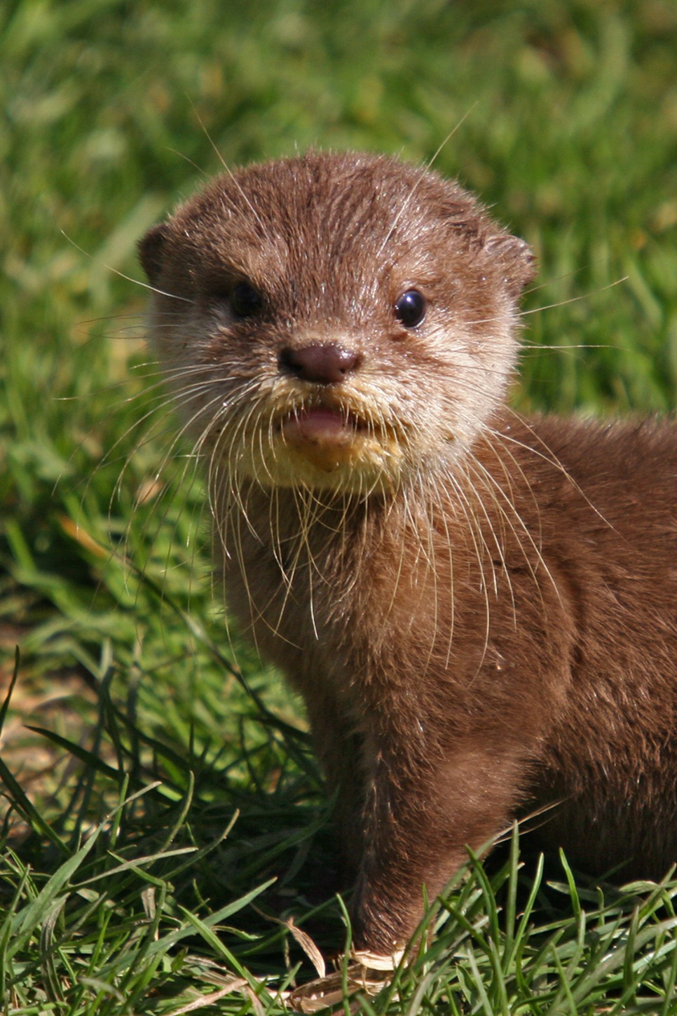 otter pup stare mustelid cute