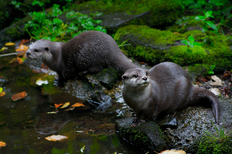 otter river north american mustelids