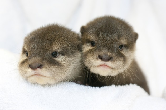 perth zoo otter pups bred in captivity
