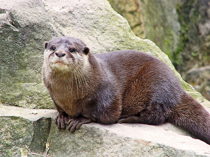 otter serious large river mustelid