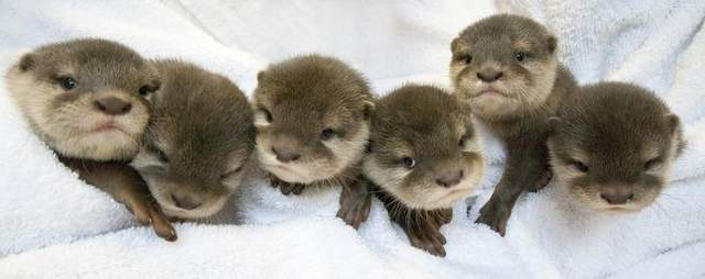 otters pups river in captivity breeding perth zoo