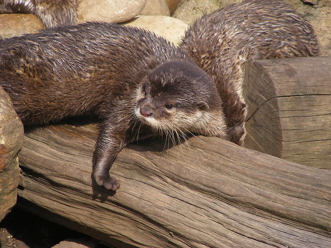 otter stretch log river otter mustelid cute