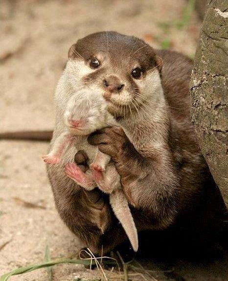 otter with pup cute mustelid
