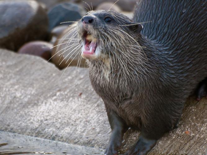 otter yawning barking mustelids