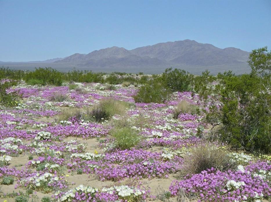 flowering desert chile 2