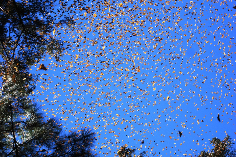 monarch butterfly migration us 2