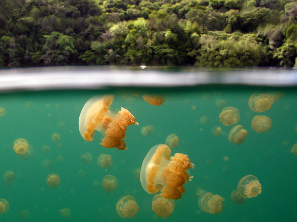Underwater Jellyfish Lake Palau