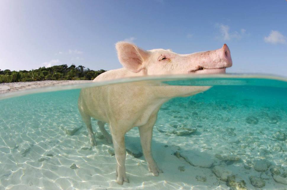 Underwater Pig Beach Bahamas