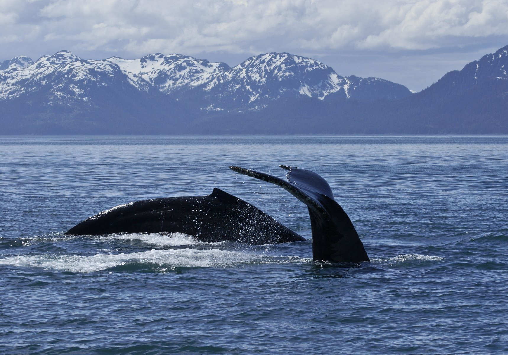 Humpback whales take the plunge.