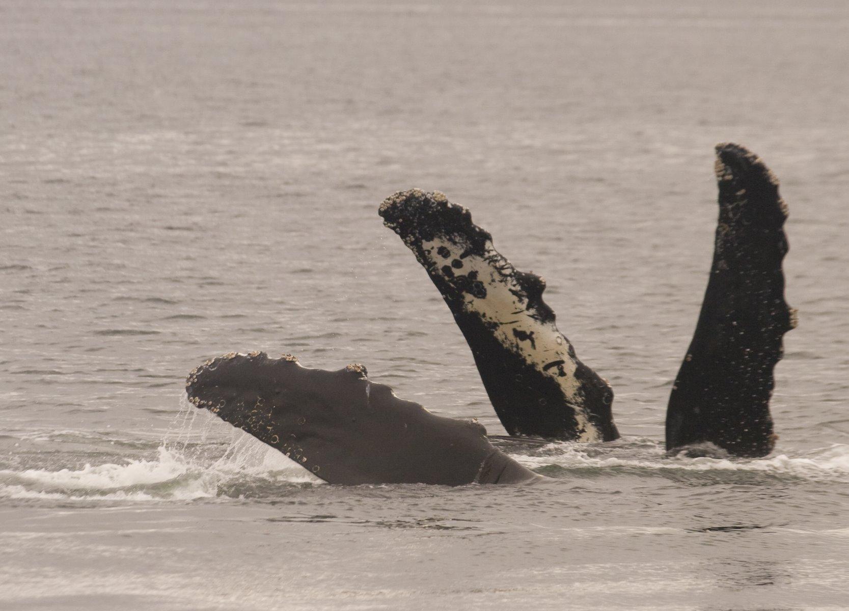 Humpback whale is formally the Megaptera novaeangliae