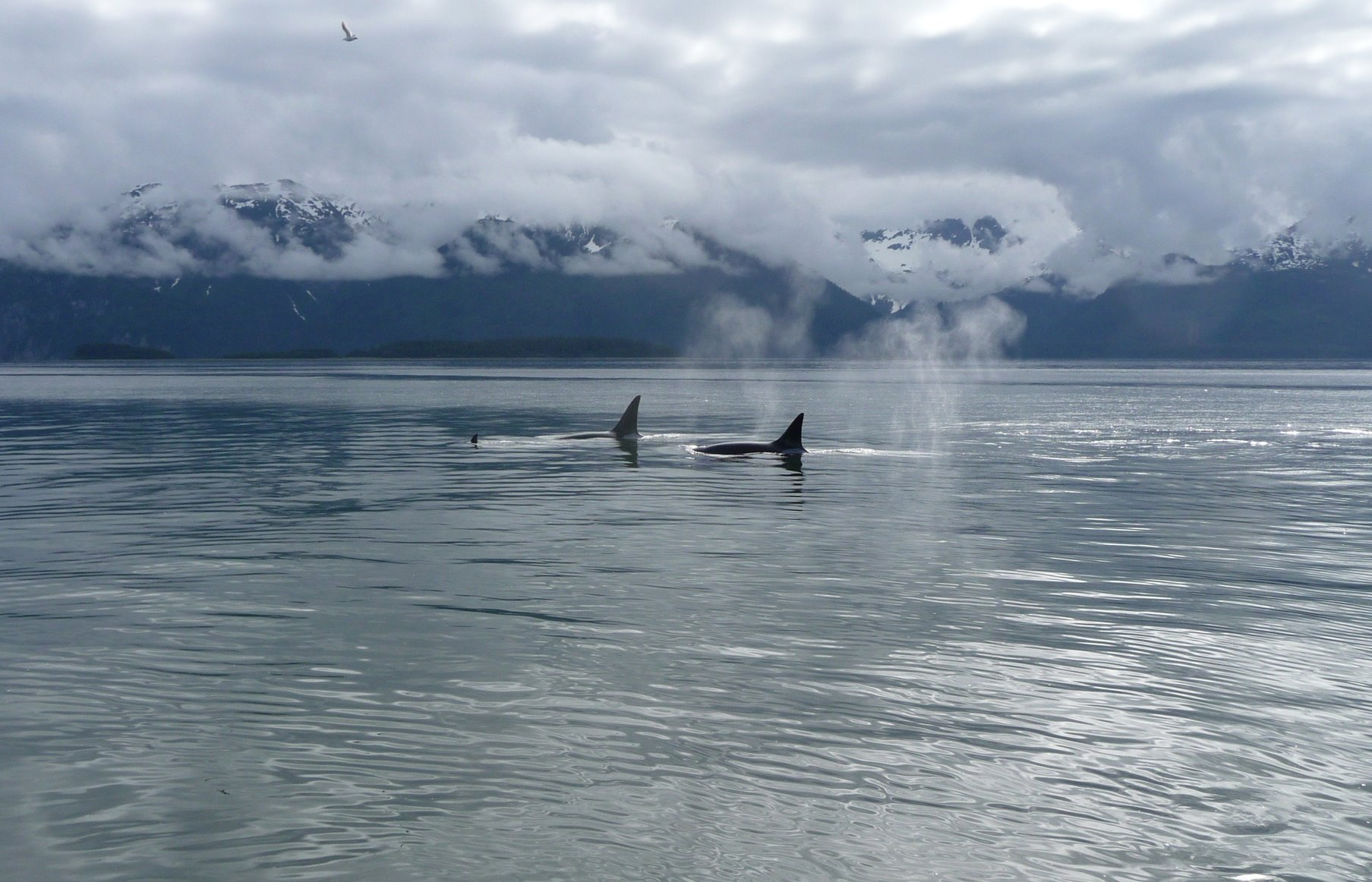 Orca whales - the largest member of the dolphin family.