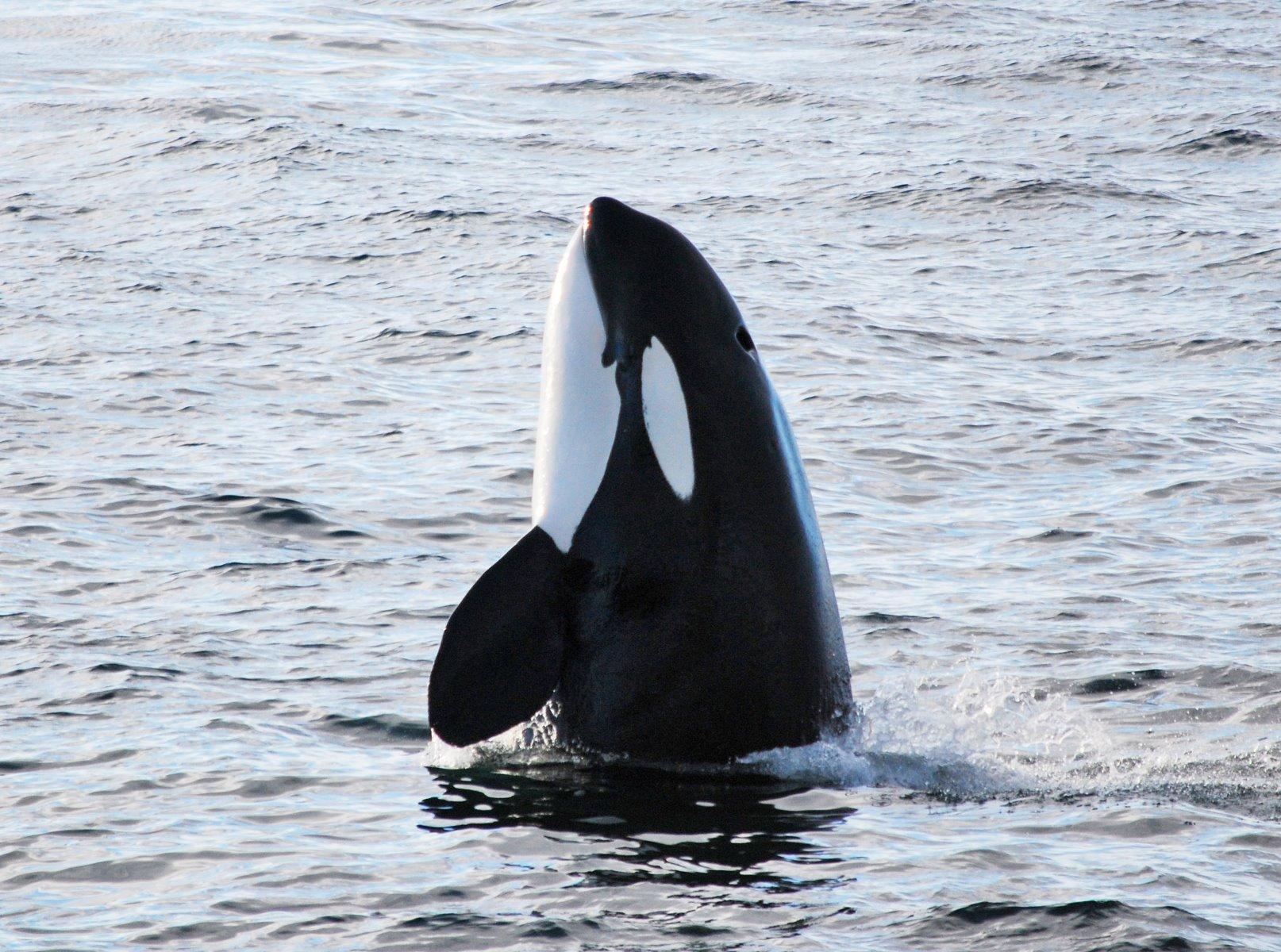 Orca at Glacier Bay.