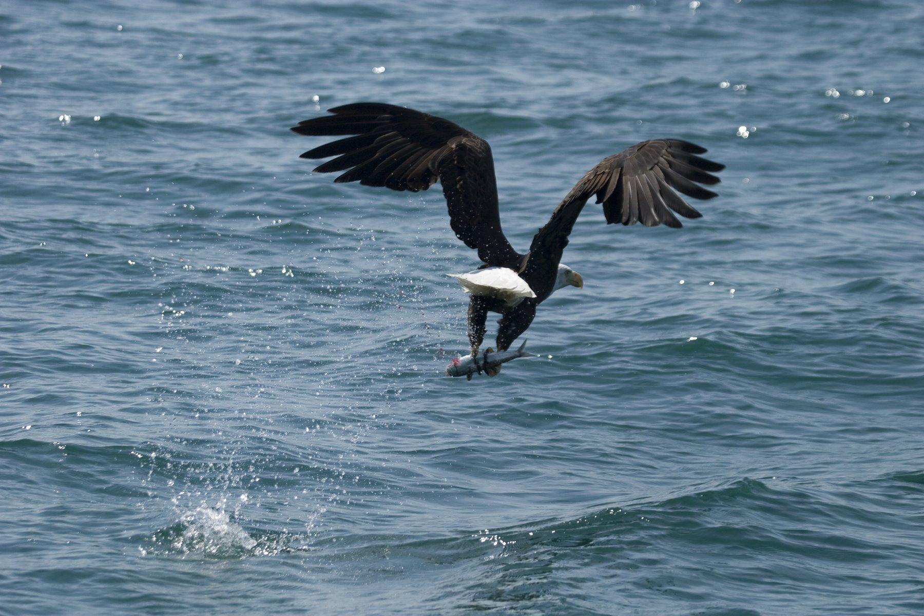 The ubiquitous Bald Eagle.