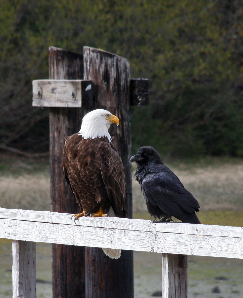 Two of the larger and most common land birds seen in Bartlett Cove are the raven and the bald eagle.