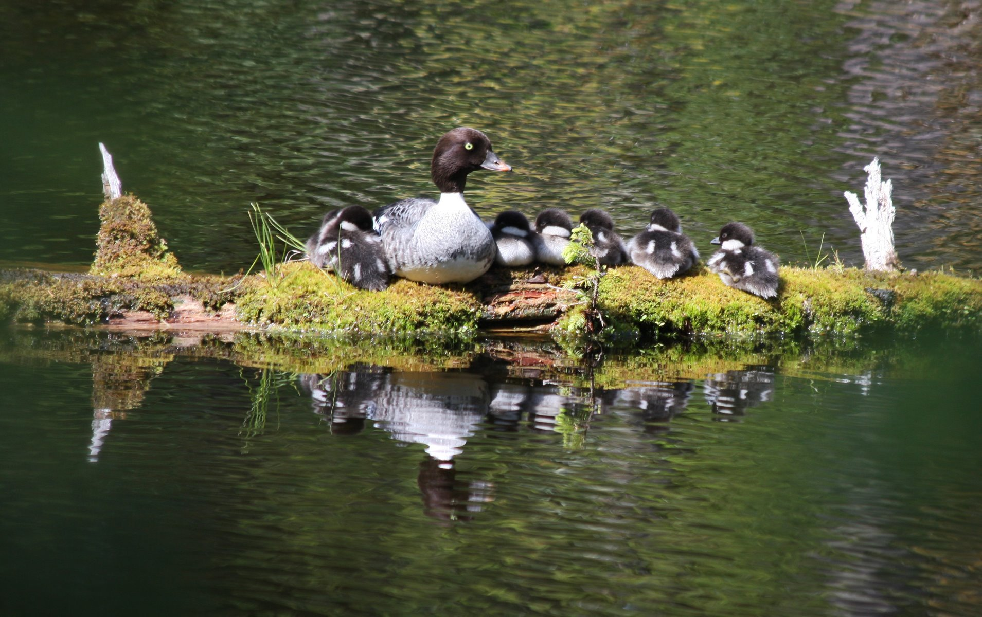 Barrow's Goldeneye mother raised her ducklings near Blackwater Pond.