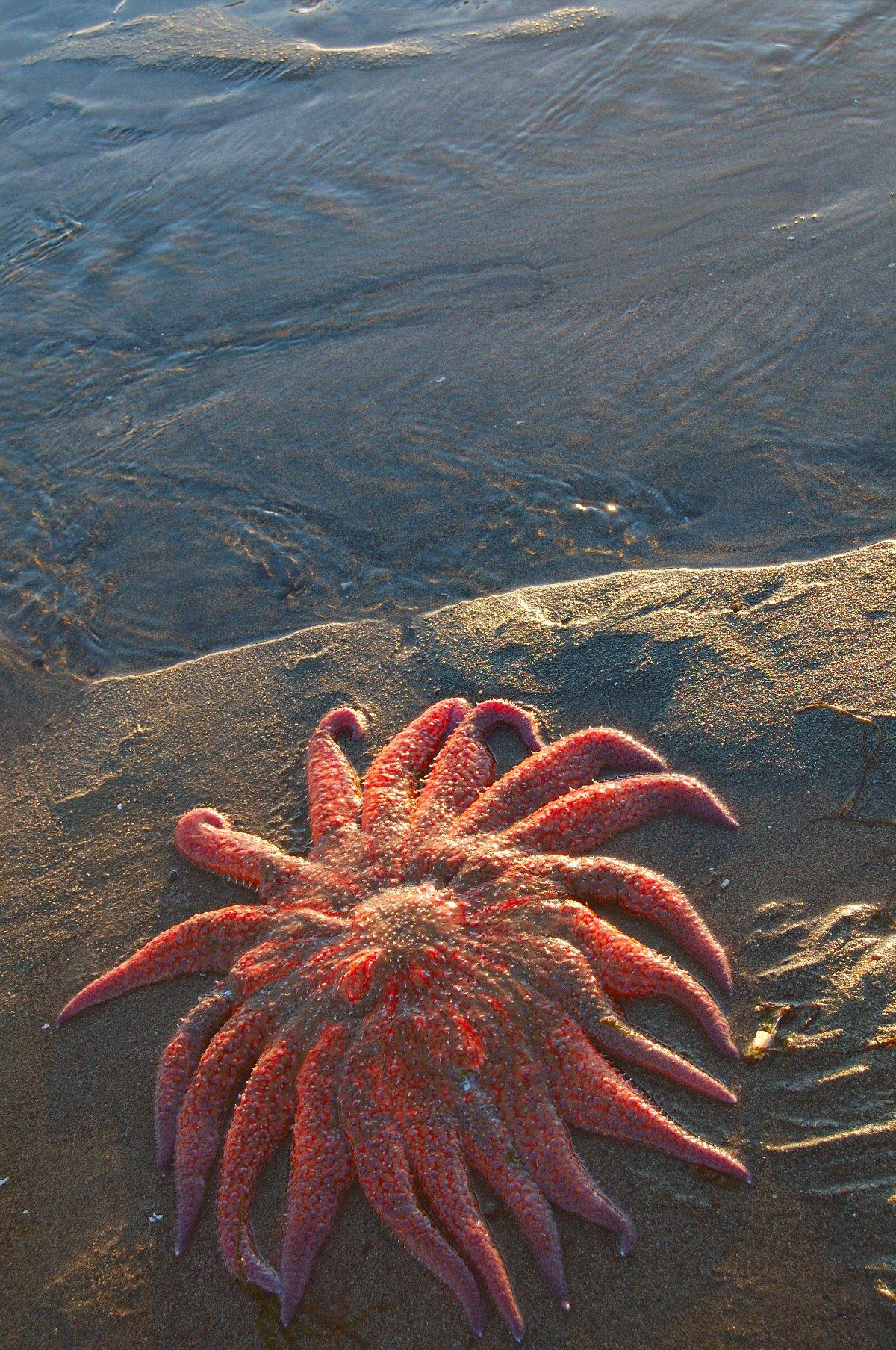 Large sun star stranded by falling tide in Southeast Alaska.