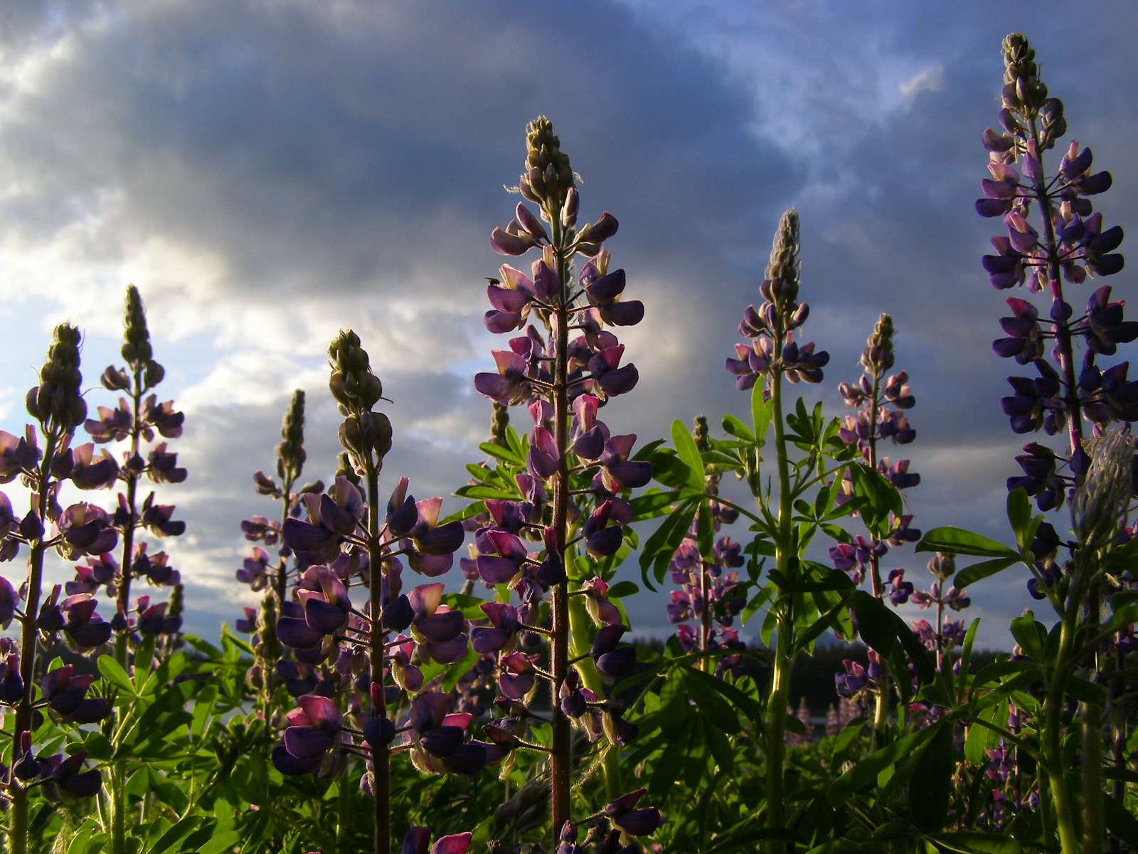 Lupine marks the end of winter.