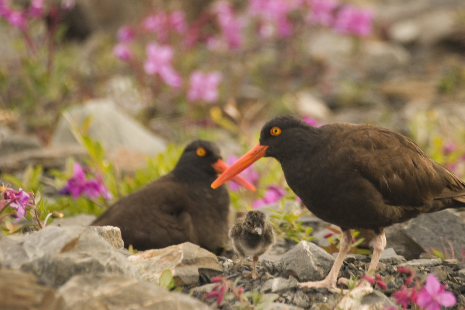 Oystercatchers nesting in Glacier Bay.