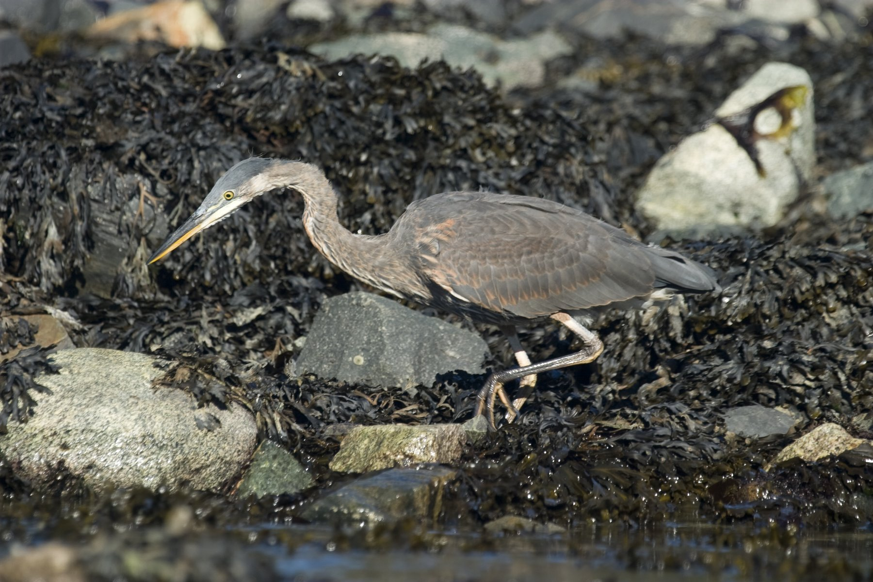 Great Blue Herons can be seen in many of Glacier Bay habitats.