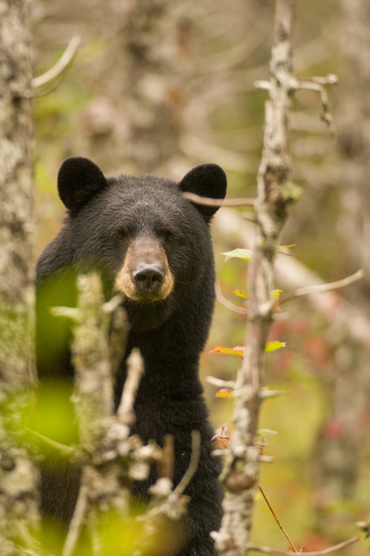 Bears stand to threaten, but also to observe.