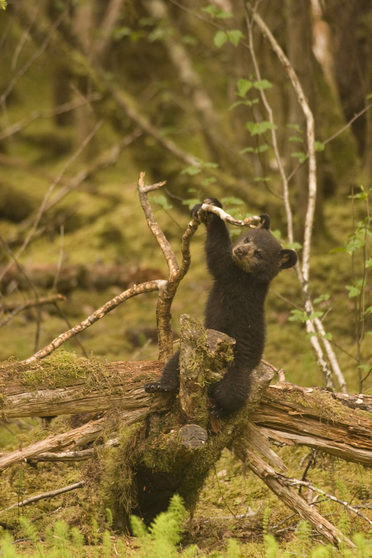 Black bear cub playing with a fallen log.