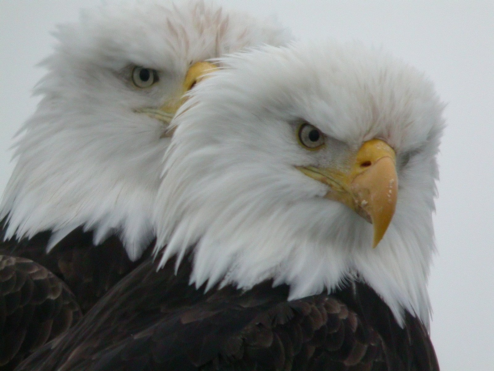 Bald Eagles.
