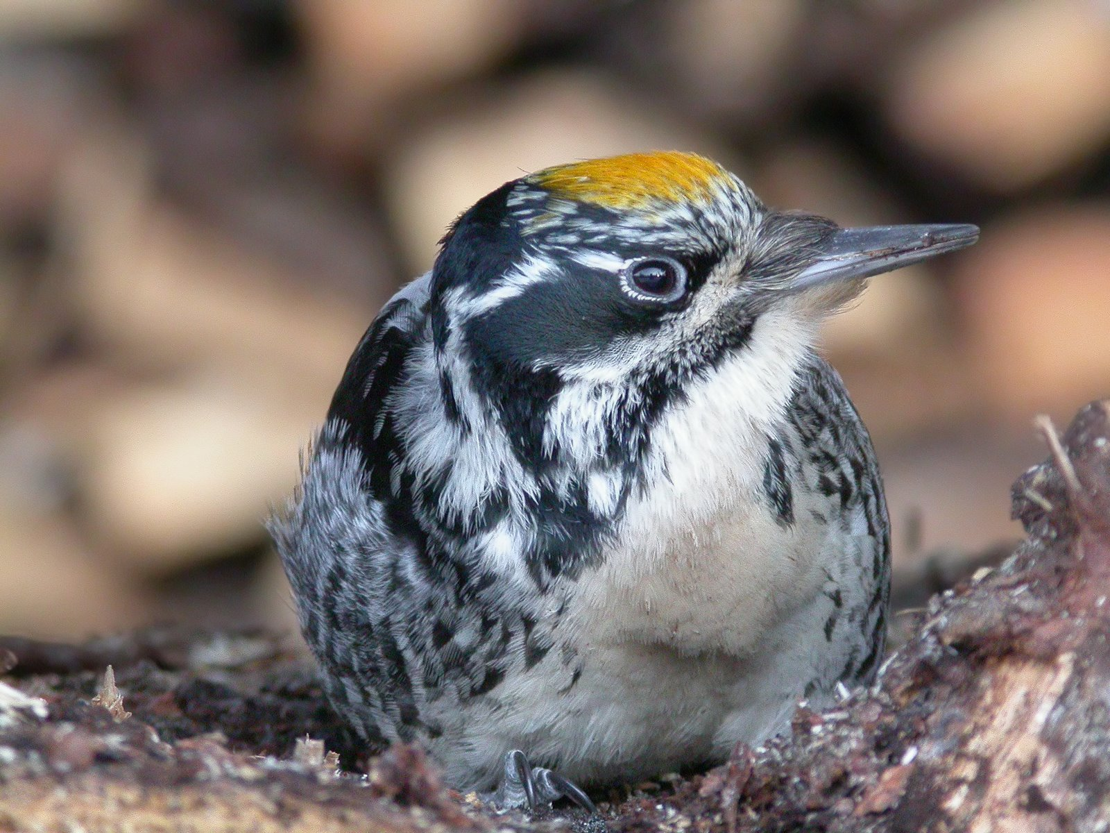 American Three-toed Woodpecker.