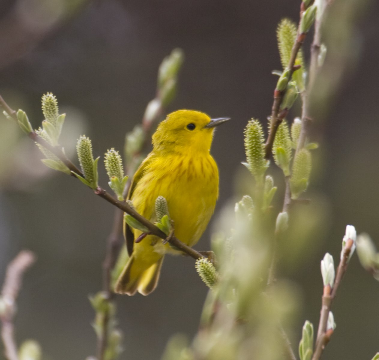 his Yellow Warbler is a male, distinguishable by the darkish streaks that run down his chest.