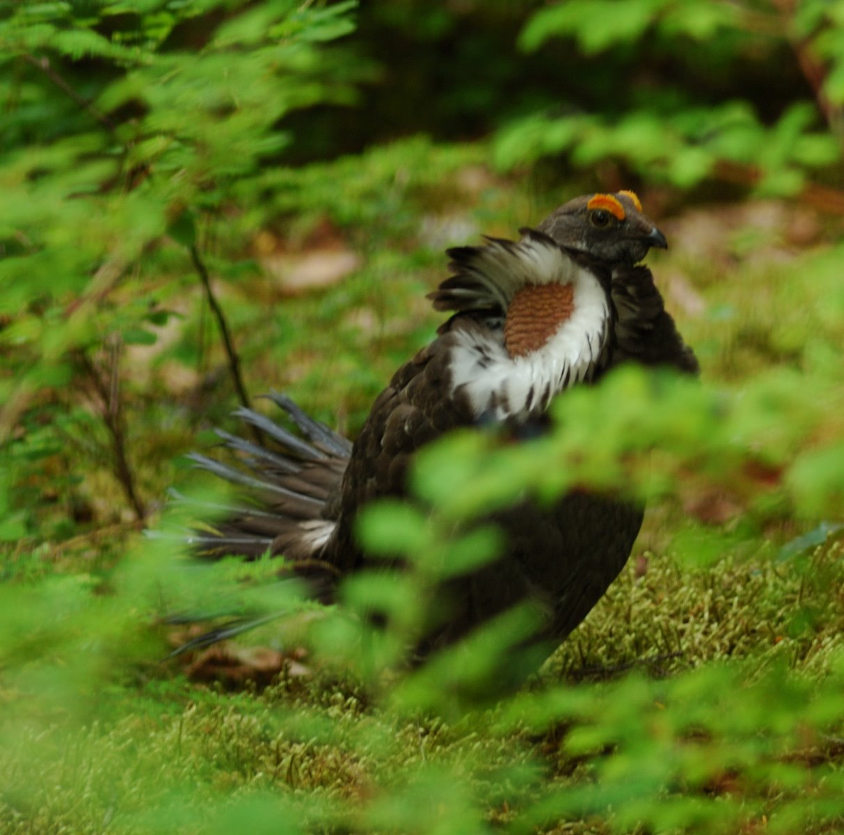 Blue Grouse hooter at Bartlett Cove.