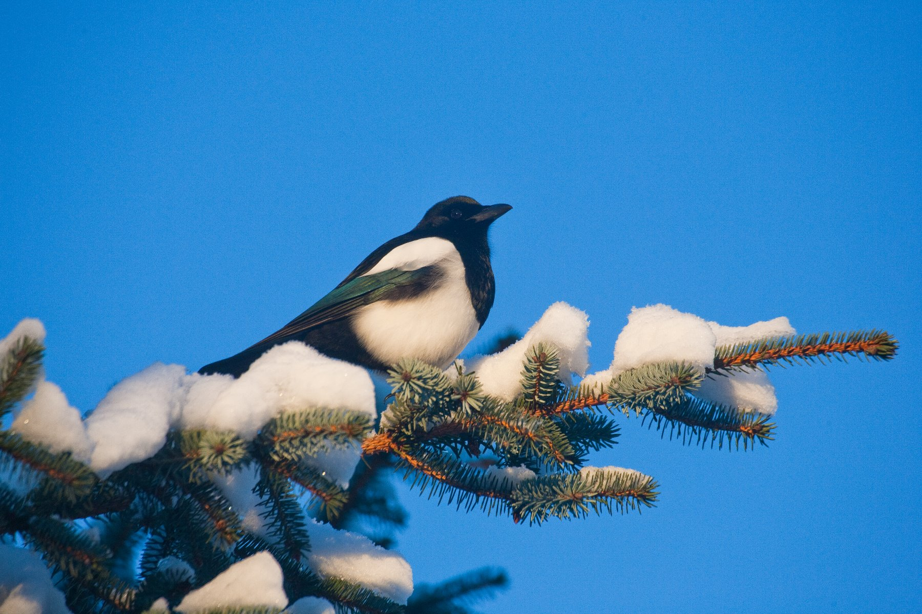 A Black-billed Magpie was perched just above the carcass of a dead deer.