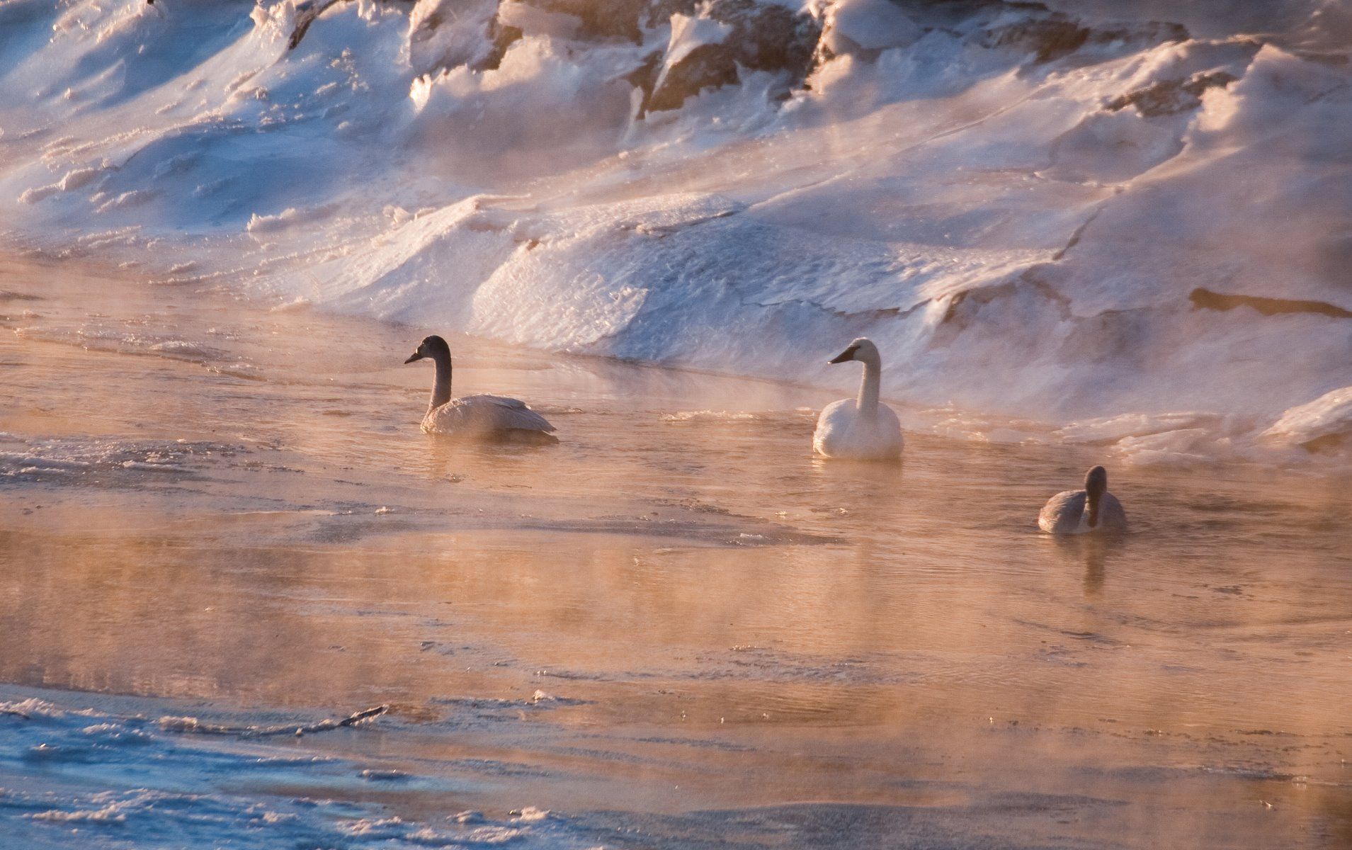 On a cold winter morning, three Trumpeter Swans navigate the ice-choked Salmon River in Gustavus.