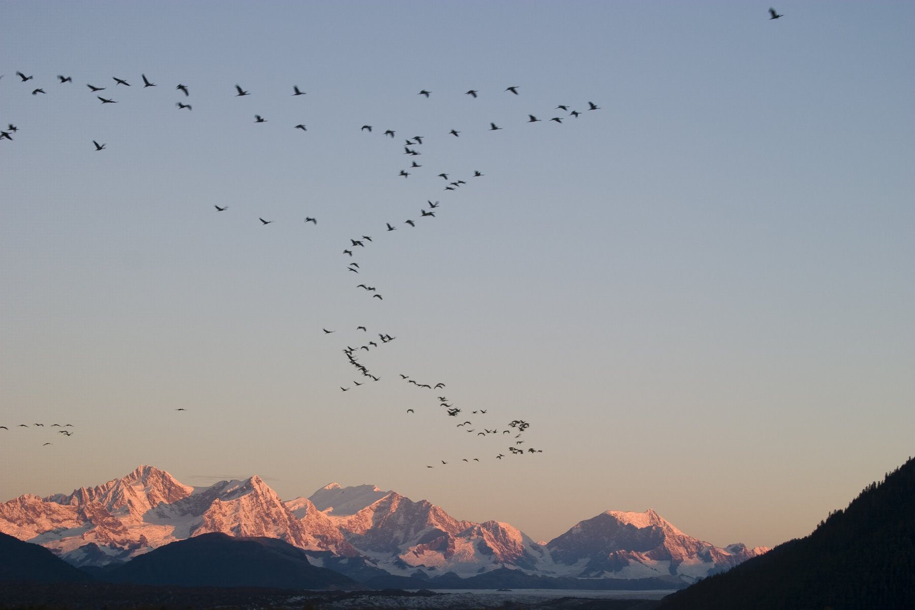 Sandhill cranes stop over in Glacier Bay as they migrate.