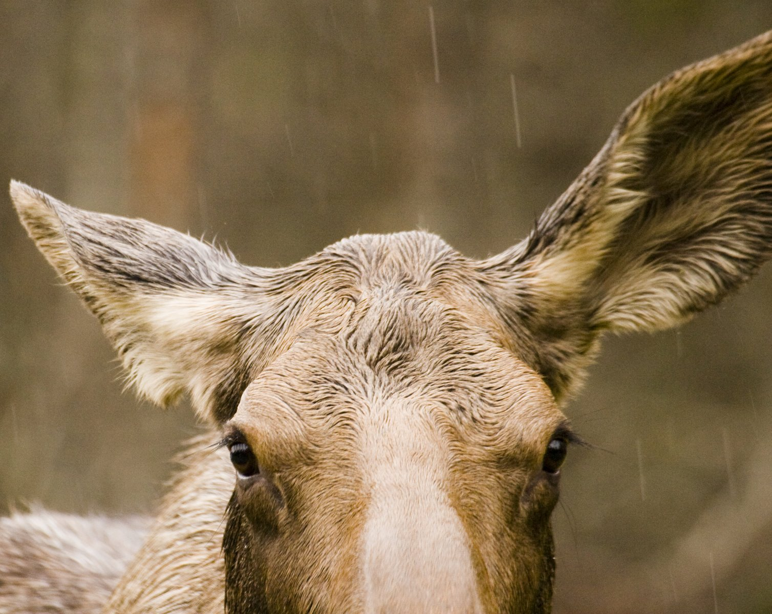 Moose biology is ideally suited to Alaskan conditions.