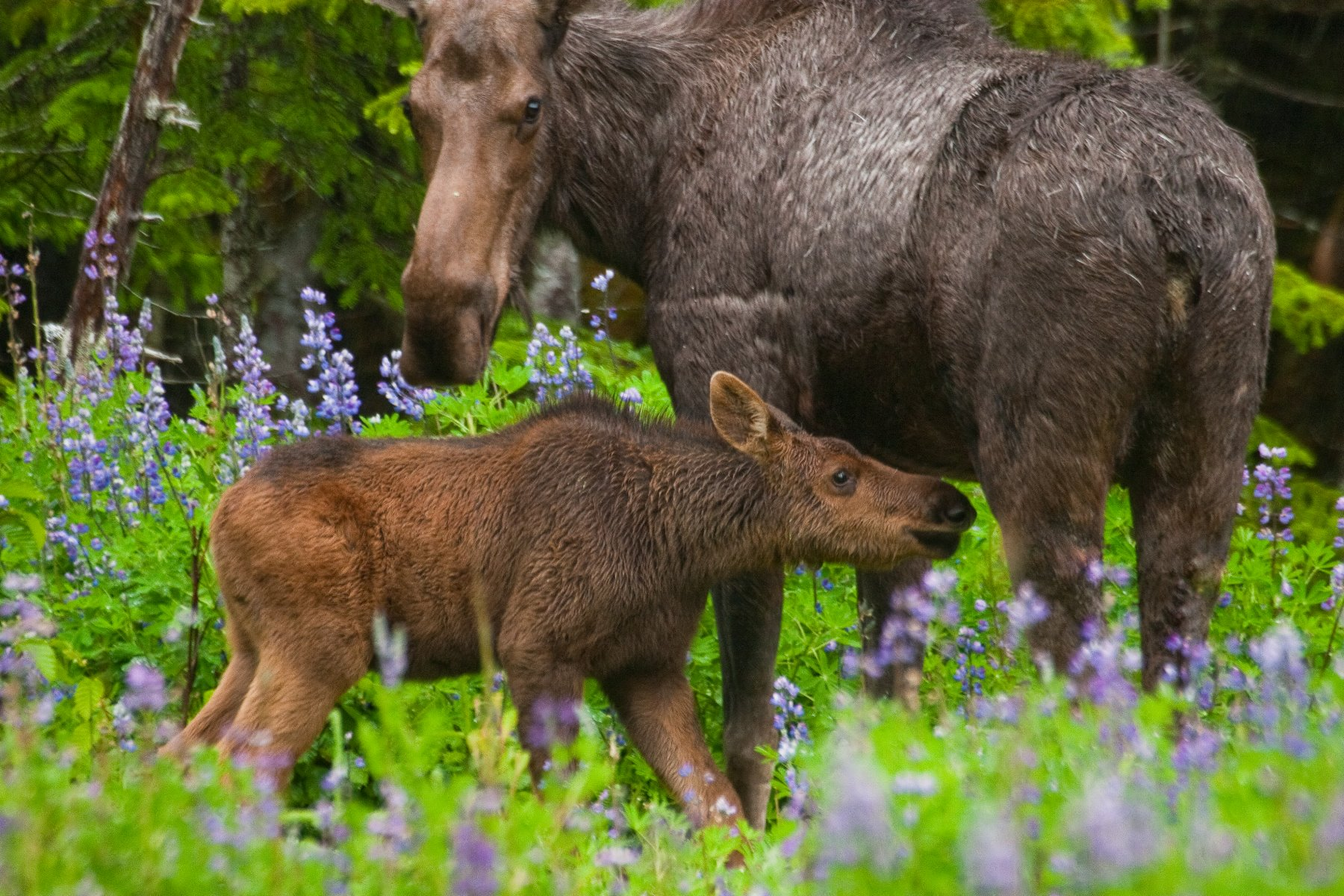 A young moose calf, only about five weeks old, nuzzles up to its mother.