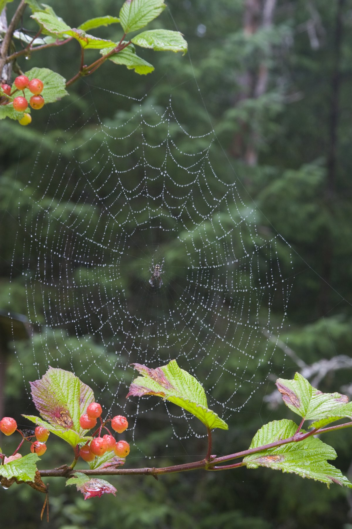 Spider web on a highbush cranberry plant.