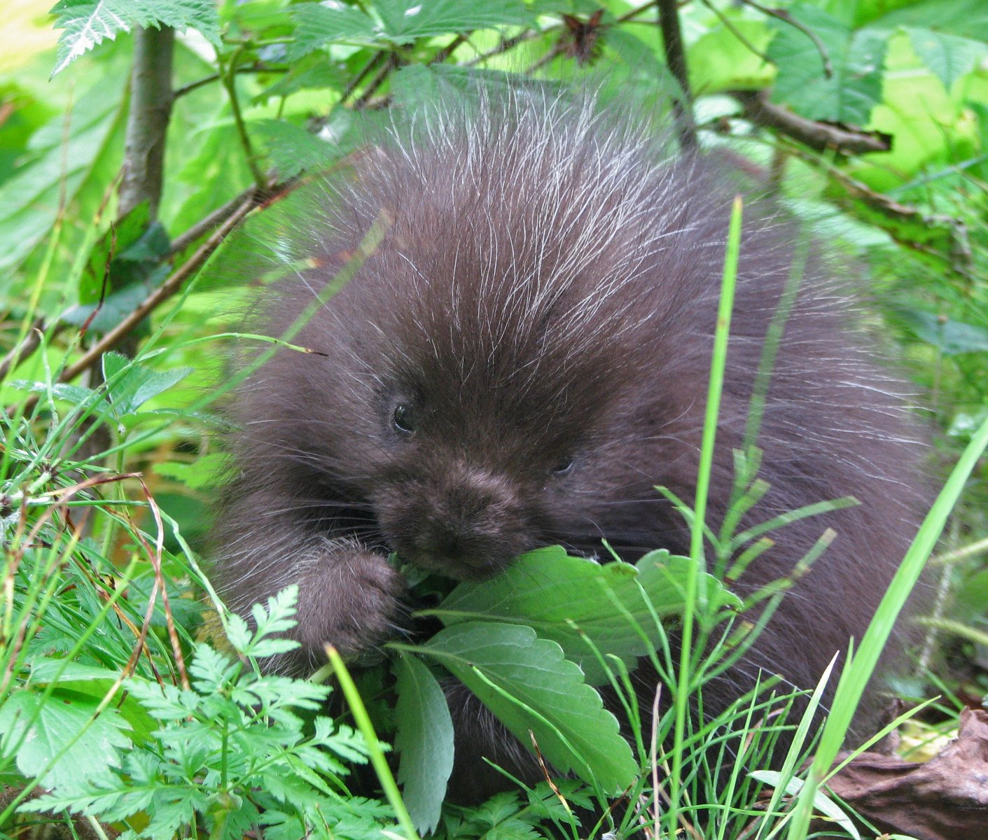 Baby porcupine at Bartlett Cove.