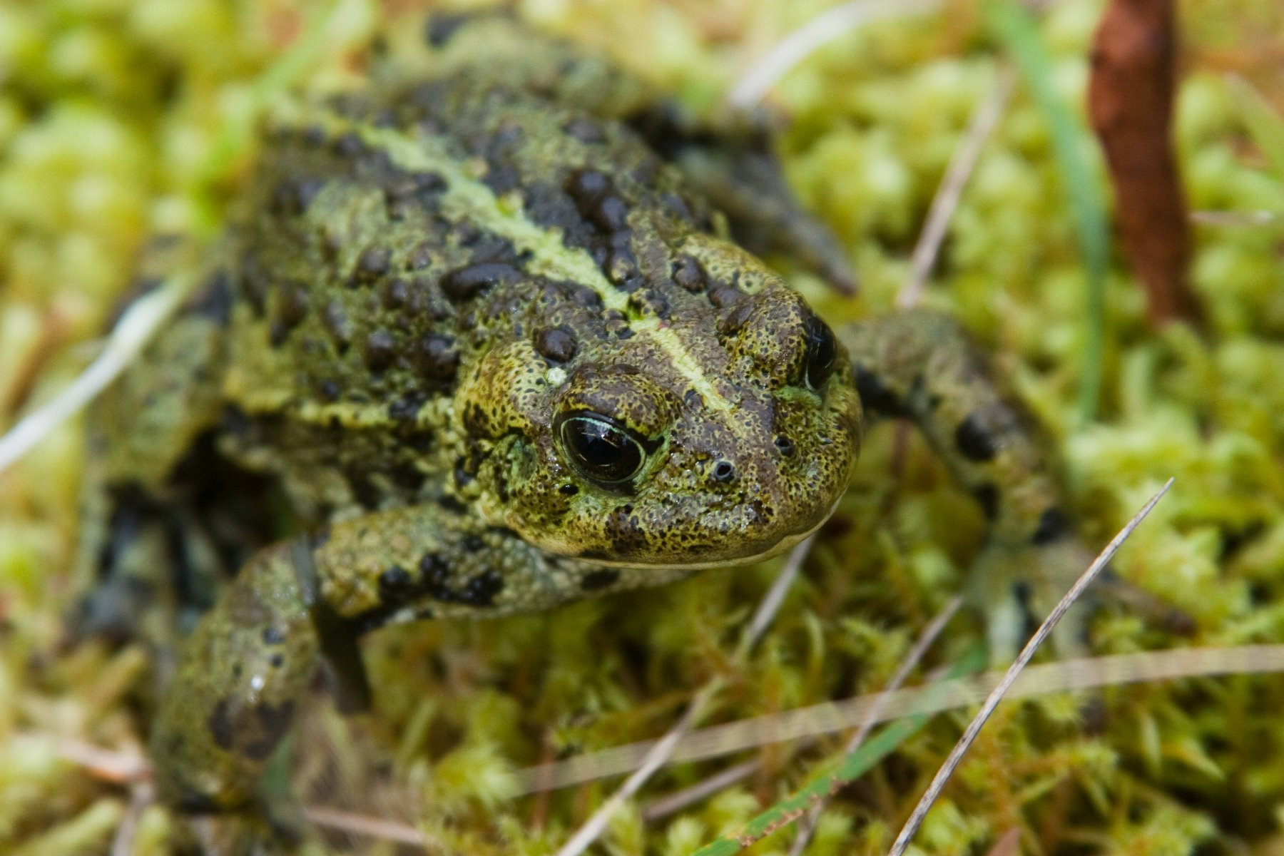 Toads are important.  Scientists refer to amphibians as 'indicator' species.  Amphibians, like this boreal toad, are extremely sensitive to small changes in their environment.