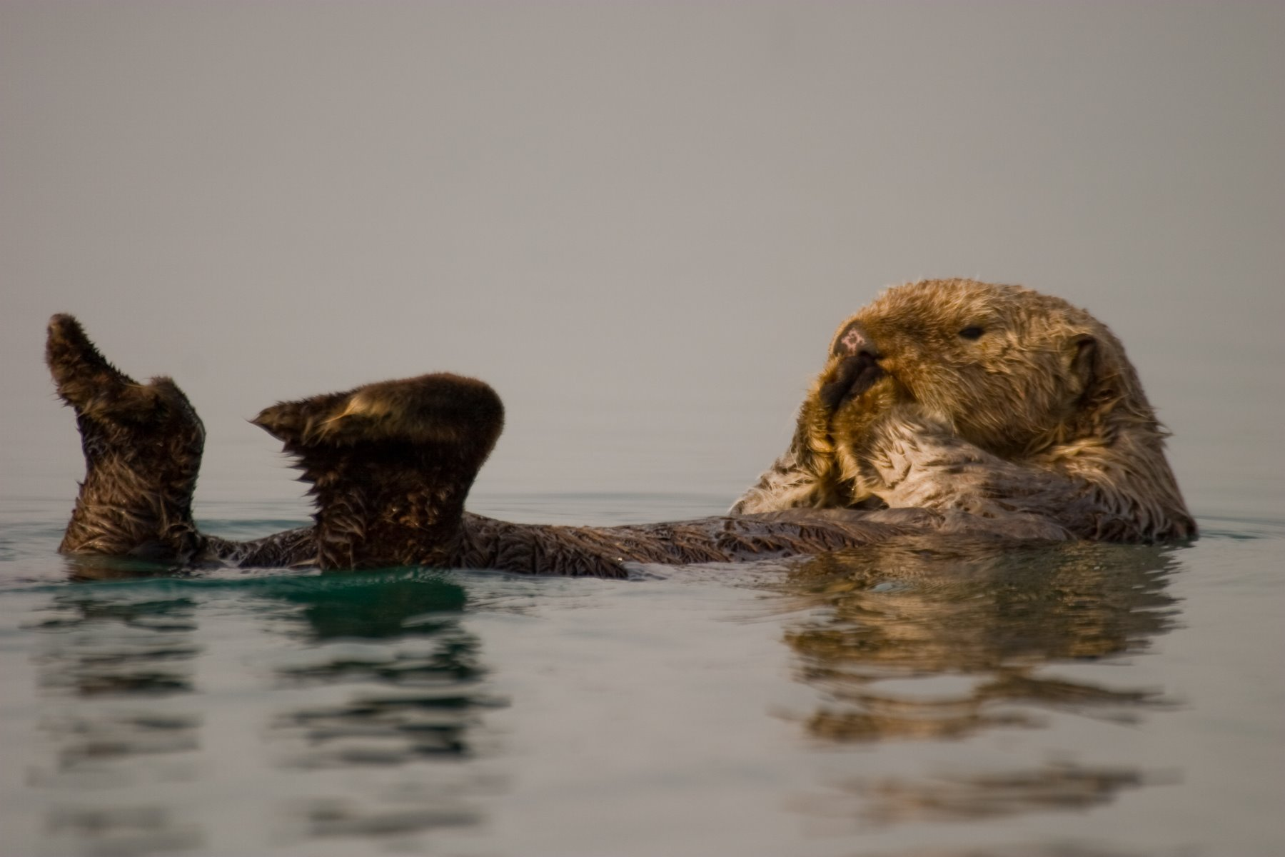 Sea otters are meticulous groomers.