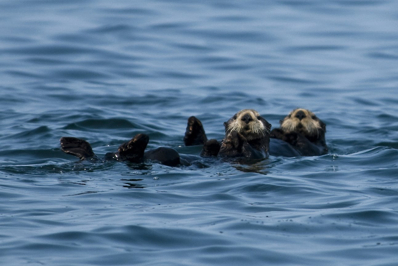 Sea otters riding the waves keeping a watchful eye.