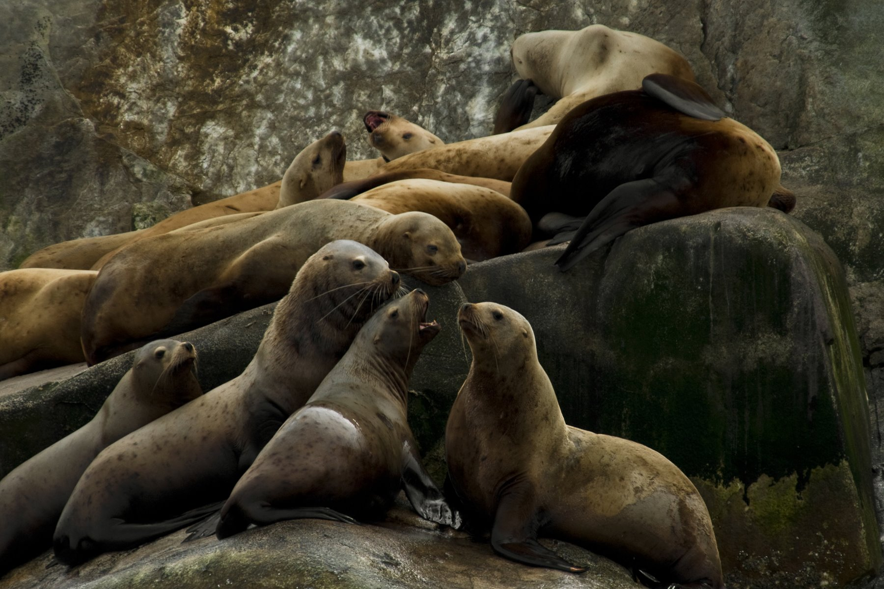 Steller sea lions gather on South Marble Island.