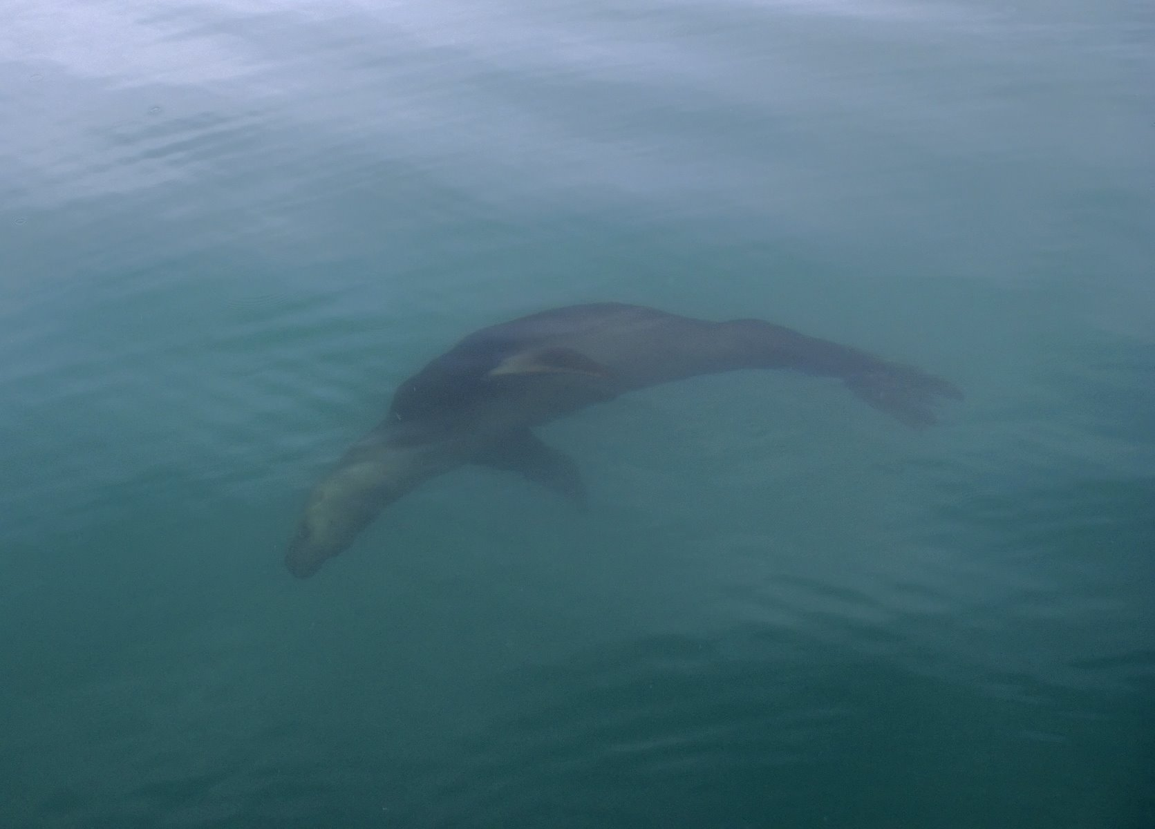 Steller sea lions.
